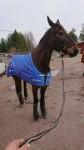 """Spitcam Jubb i sitt fina """"Årets Häst"""" täcke. Sponsrat av Granngården. Foto: Micael Broberg"""