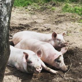 Köttlåda fläsk (1/2 gris, ca 10kg) - Köttlåda nr 3