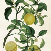 poster citron 35x50