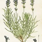 poster lavendel 35x50