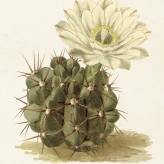 miniposter kaktus 18x24