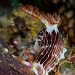 Nudibranch, Ambon