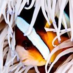 Anenome fish, Layang Layang