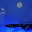 Vargarna iakttas av lodjuret uppe på en klippan, upplyst av polarnattens månsken. Foto: Joel Niemi