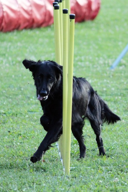 agility slalom flatcoated retriever
