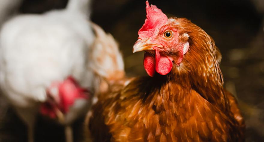 Järnvirke Hönseri AB är ett familjeägt hönseri mellan Varberg & Falkenberg, mitt i Halland. Vi har packeritillstånd och levererar ägg till Västkustägg