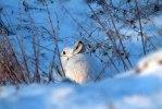 Skogshare-Vinter i dagleg