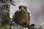 Lavskrika-ungfågel