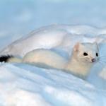 Hermelin-vinter, svart svansspets