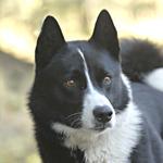 Karelsk Björnhund