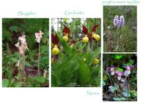 Skogens orkidéer.E