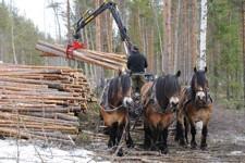Nordsvenska hästar.Lasta av