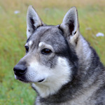 Myrbrännas Igor.Björnhunden