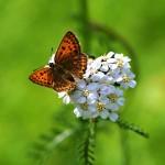 Fjäril-Sommar-natur nr 186