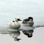 Salskrake,par,fågel nr 550