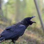 korp-ungfågel-hungrig