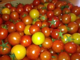 Ekologiska tomater till lunchen i Hajstorps slusscafe