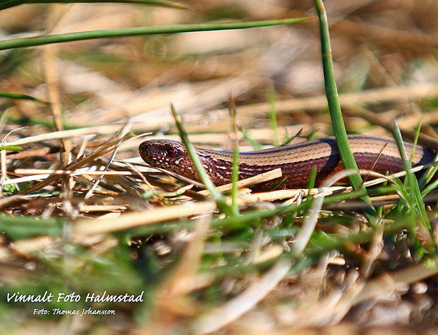 En liten koppar orm som kikade fram vid besöket.