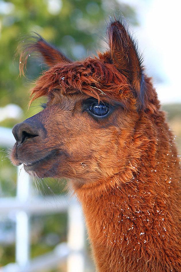 Någon form av mini kamel  på plats..hur som helst fina djur