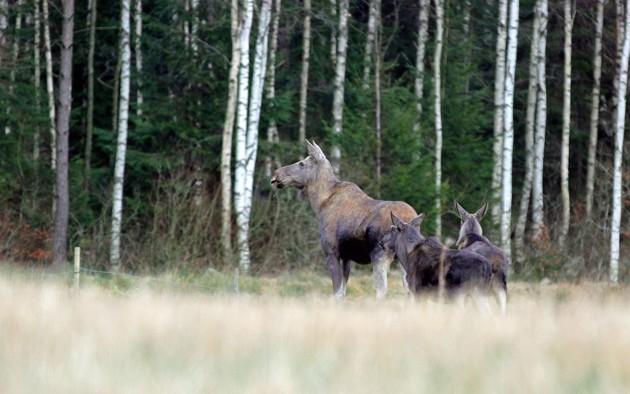 Dom här tre lallade över vägen på väg hem idag och innan jag fått upp kameran ur väskan var dom redan vid skogsbrynet!!