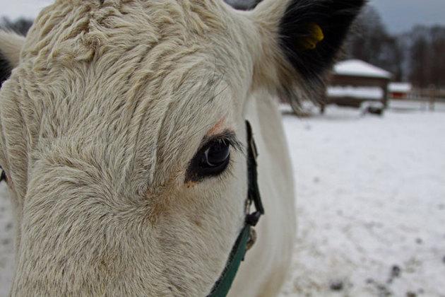 Den här kon var och puffade på kameran.