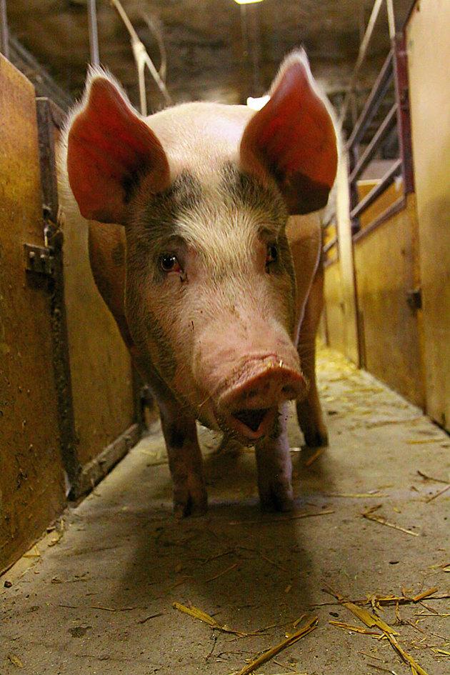 När jag fotograferade denna grisen...