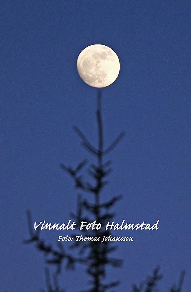 Gick en runda med kameran igårkväll och på väg upp till huset kunde jag lägga månen på en grantopp..