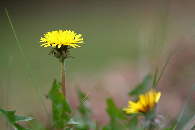 Jag får ofta höra att det saknas blommor i min trädgård...vadå?? Maskrosor är väl fina!!