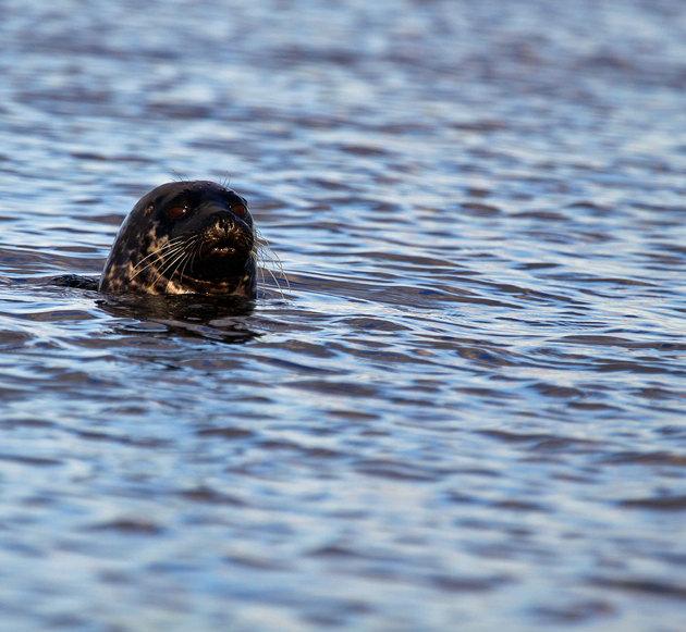 Sannslöst nyfikna...fick många goa skratt under padlingen runt ön...här måste finnas hundratal av säl!!