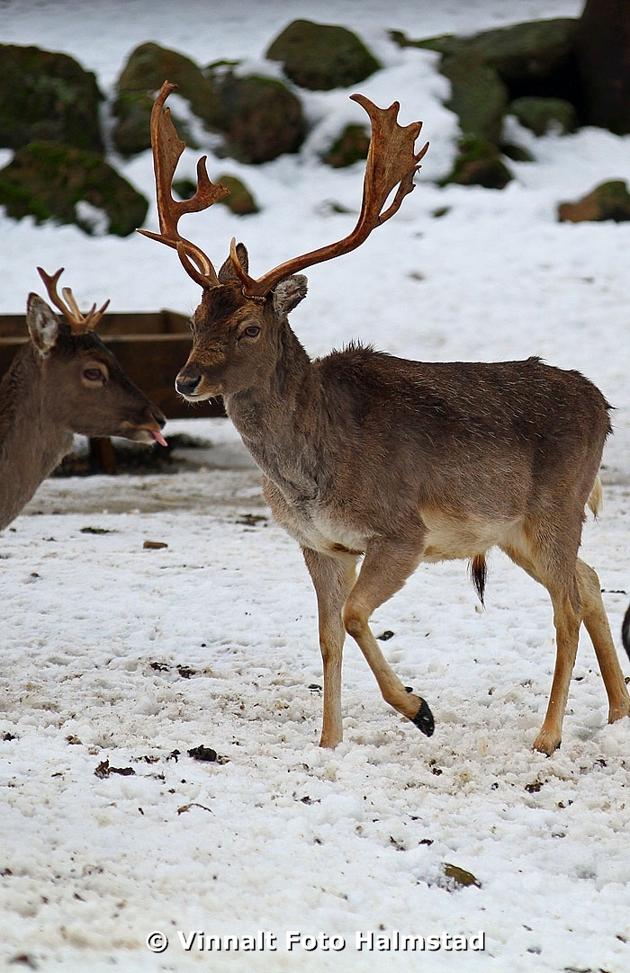Kolla in den vänstra killen med lite mindre horn..räcker ut tungan lite trotsigt!!