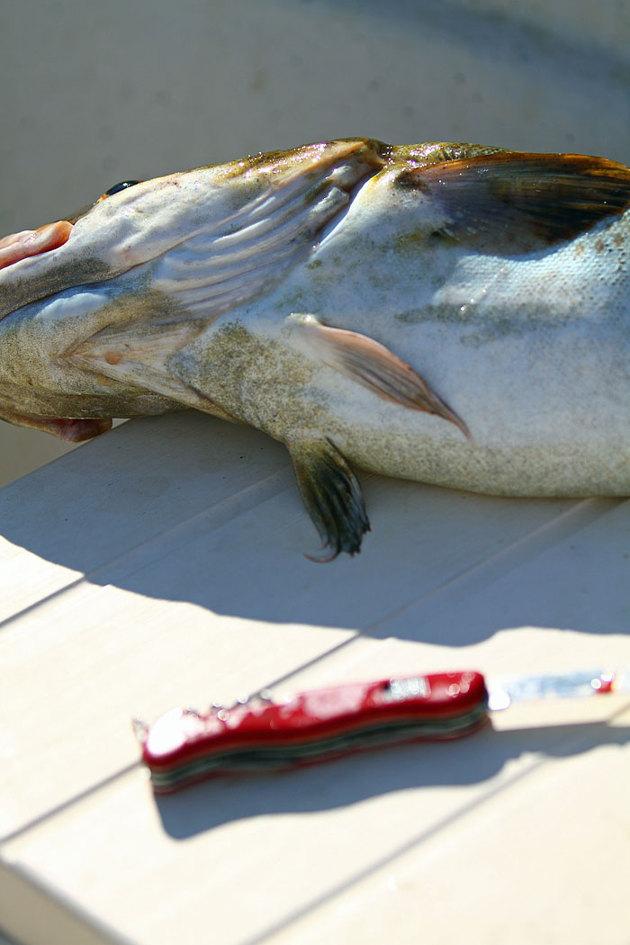 Några kilo Torsk blev till filé...stora telegluggen i båten och då blir det så här.