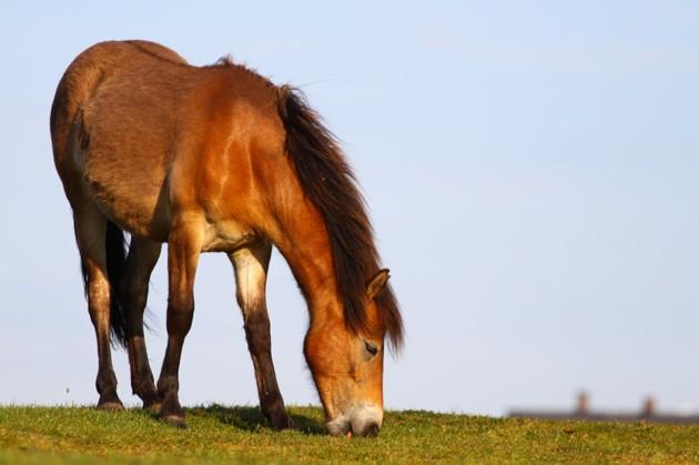 Hästarna lever ett gott liv på Hallands Väderö