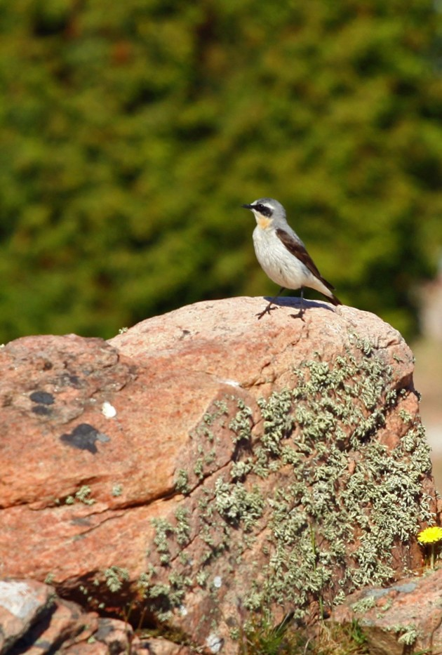 Den här vackra fåglen fixar jag inte...så jag ställer frågan??