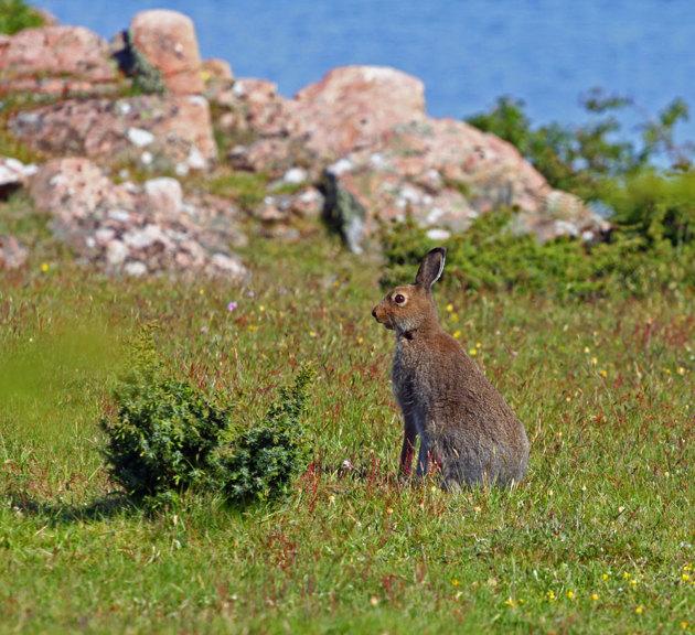 Inplanterade harar är här gott om på ön.