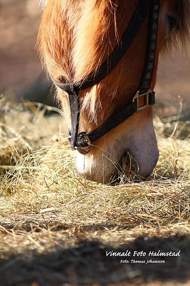 En härligt ljud när hästar mumsar på hö..