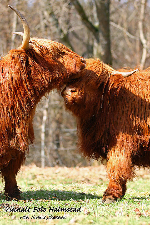 Highland Cattle...
