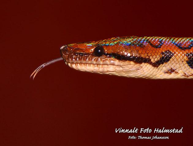 Kommer inte ihåg vad alla ormar hette men dennna hade nyss ömsat skinn och glittrade i regnbågens färger