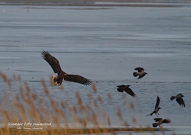 Plåtade havsörn för några dagar sen....vill med denna bilden visa hur stor den är jämfört med kråkorna.