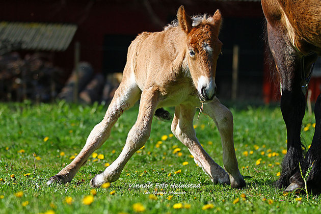 Det där att hålla reda på fyra ben är inte det lättaste om man nyss hamnat i en Svensk hästhage.
