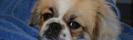 Tibetansk Spaniel, en stor hund i litet format