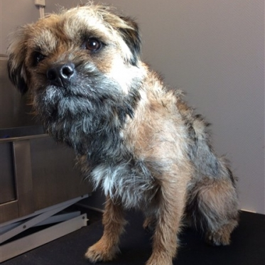 Borderterrier Före