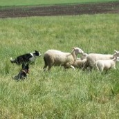 Sagas första möte med fåren. Working kelpien Ior hjälpte till att hålla fåren samlade.