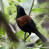 North Island Saddleback