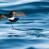 New Zealand Storm Petrel