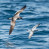 Buller's Shearwater and Fairy Prion