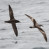 Sooty Shearwater and Buller's Shearwater