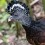 Great Curassow female