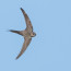 Palm Swift