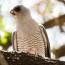 Ovampo Sparrowhawk