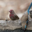 African Firefinch  Red-cheeked Cordon-bleu  Cut-throat Finch